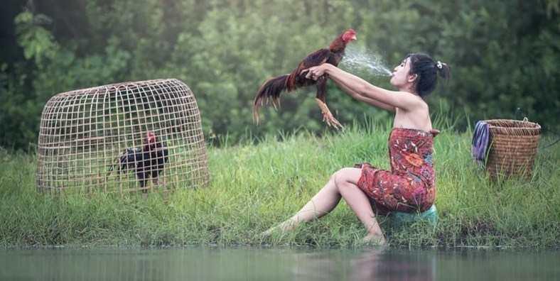Cara Merawat Ayam Bangkok Umur 7 Bulan Menang Tarung Khusus Pemula